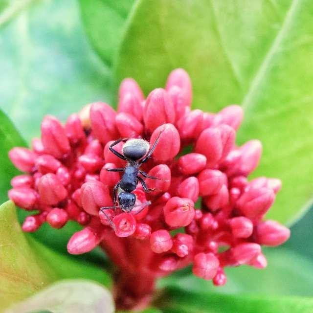 Formiga na flor de Icsória.
