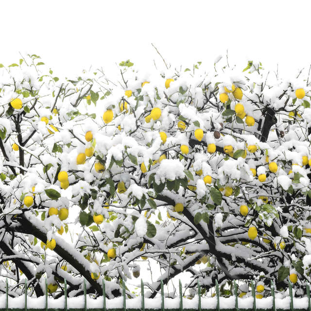 lemons under the snow