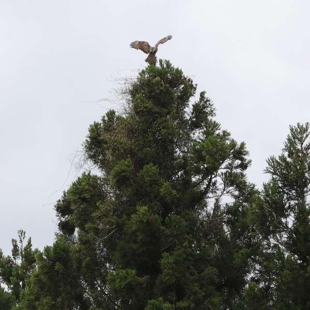 木の上のトビ