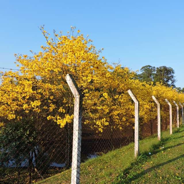 Ipê Amarelo árvore do Brasil