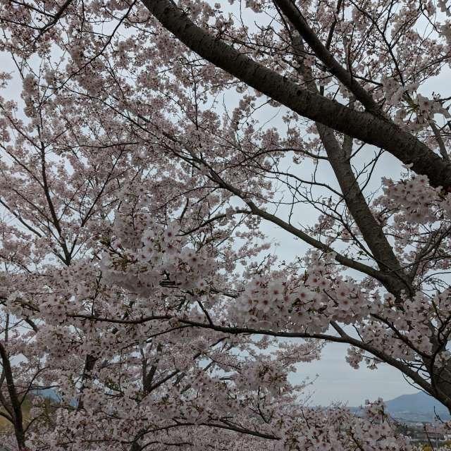 曇り空でも桜は満開