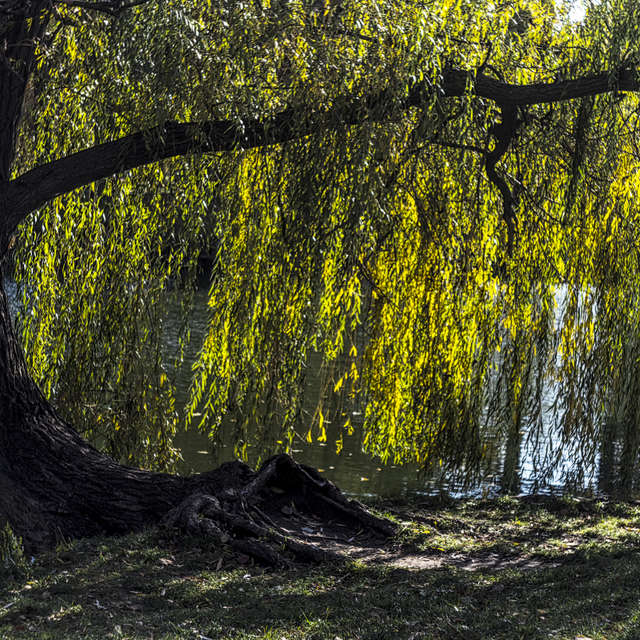 Weeping willow . Autumn.