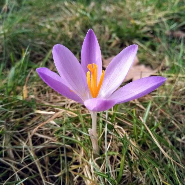Krokus lila