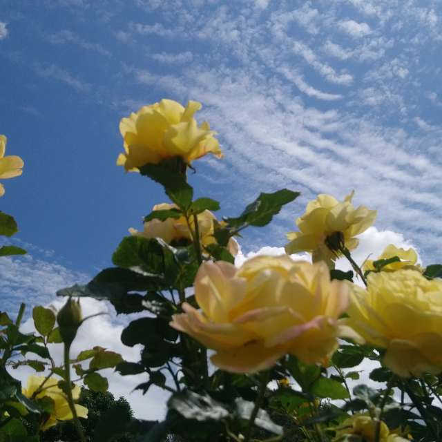 Scattered sky with roses