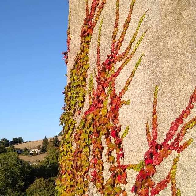 Sunny Ivy Wall