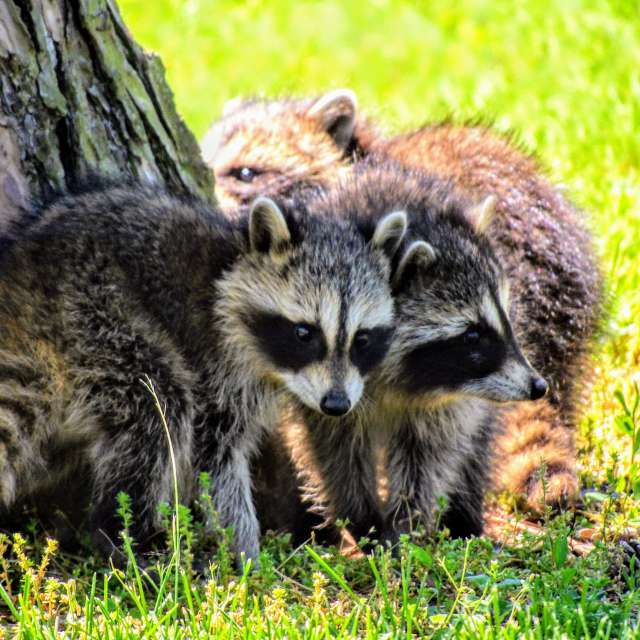 Baby Raccoons in the Park