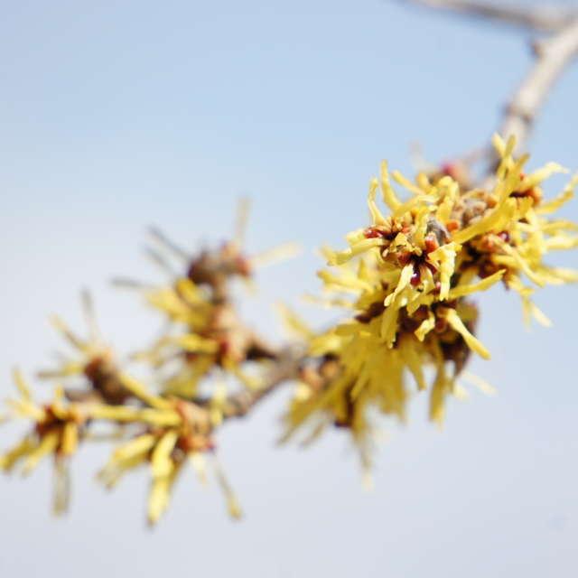 黄マンサク咲く春