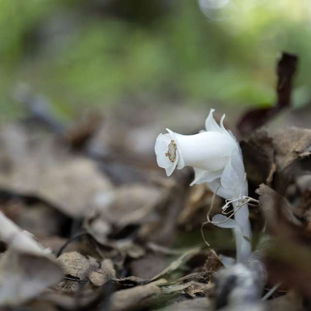 落ち葉を押しのけて咲いた光合成をしな銀竜草(ギンリョウソウ)