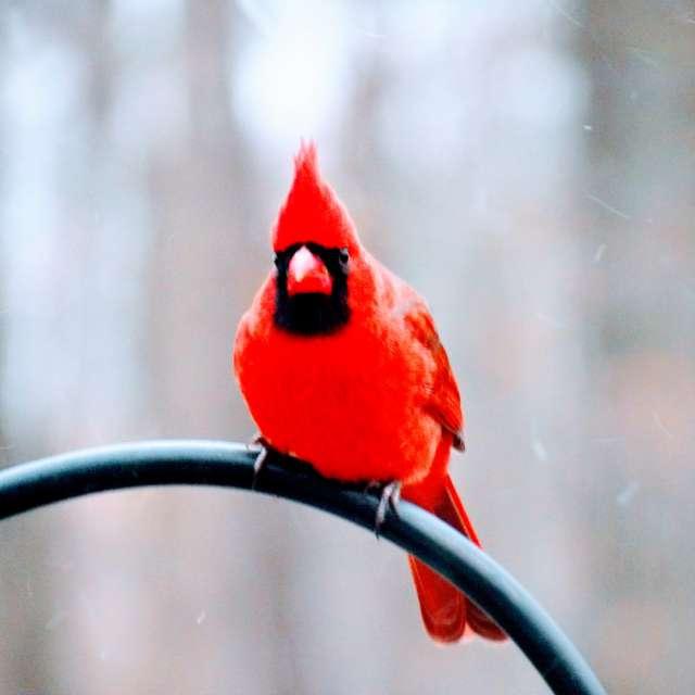 Snow Falling on Cardinal
