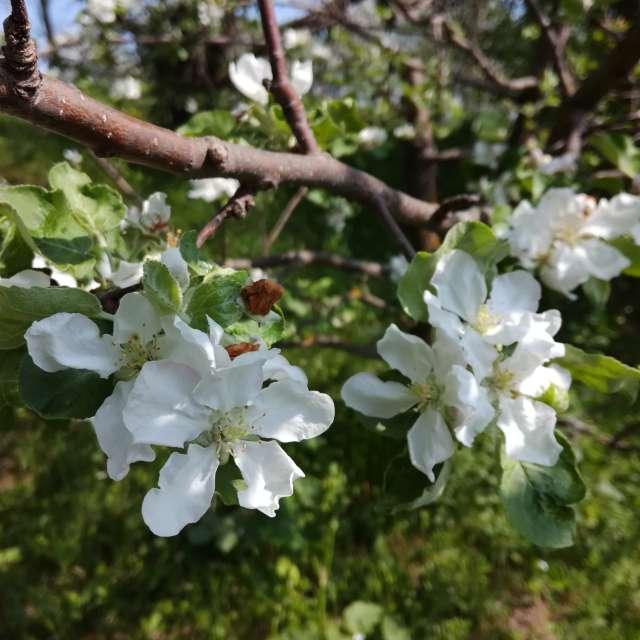 Яблоня в цветении