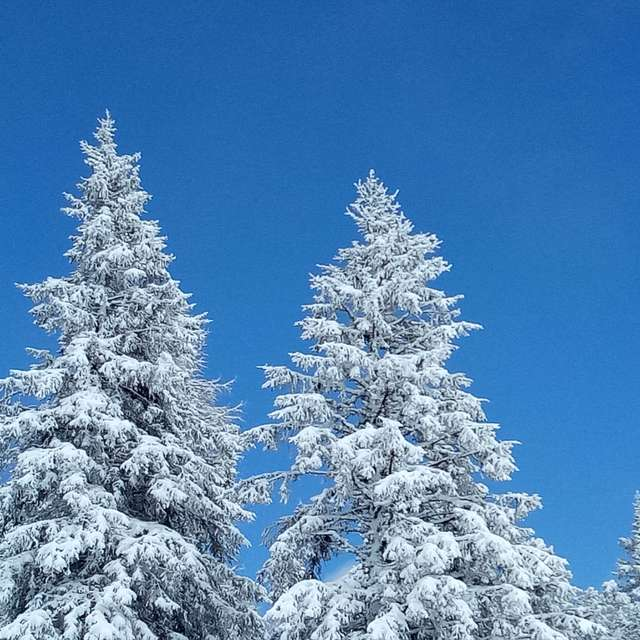 Tree tops in Snow