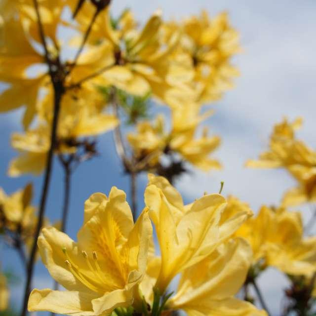 陽だまりの黄色ツツジ