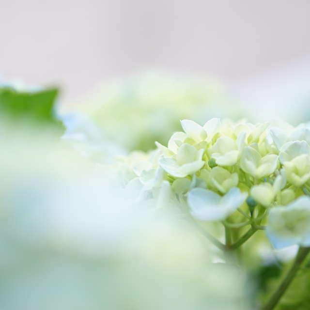 色白な紫陽花