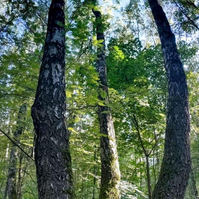 Три берёзы в Химкинском лесе