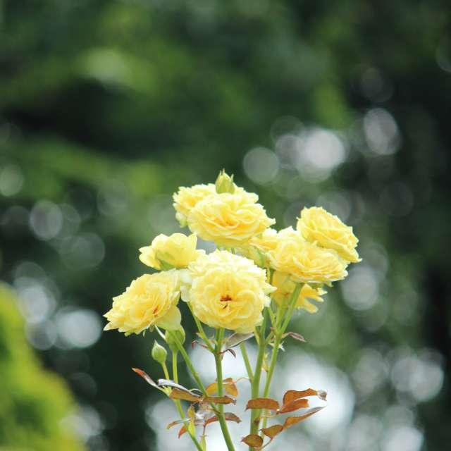 夏のバラ撮影致しました(^-^)