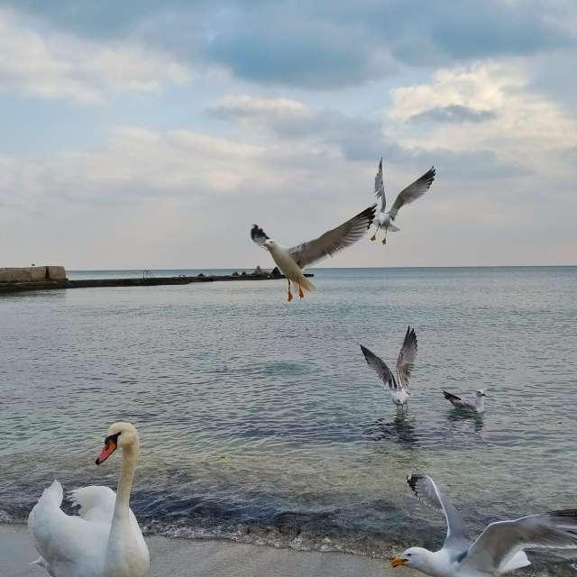 Swan and seagulls feeding
