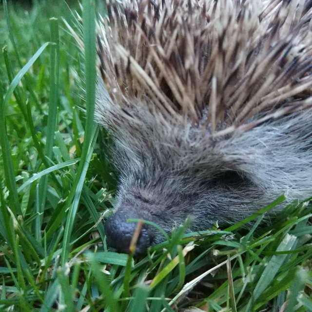 Hedgehog on the lawn