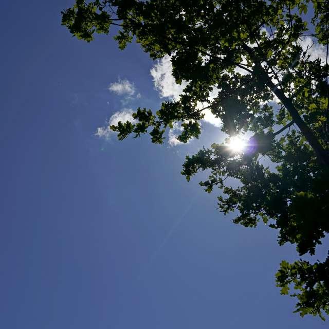 Oak leaves in the sun