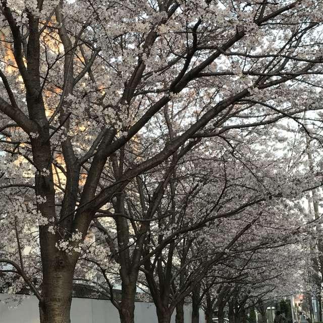 いつかの緑の街路が桜🌸の花になった時