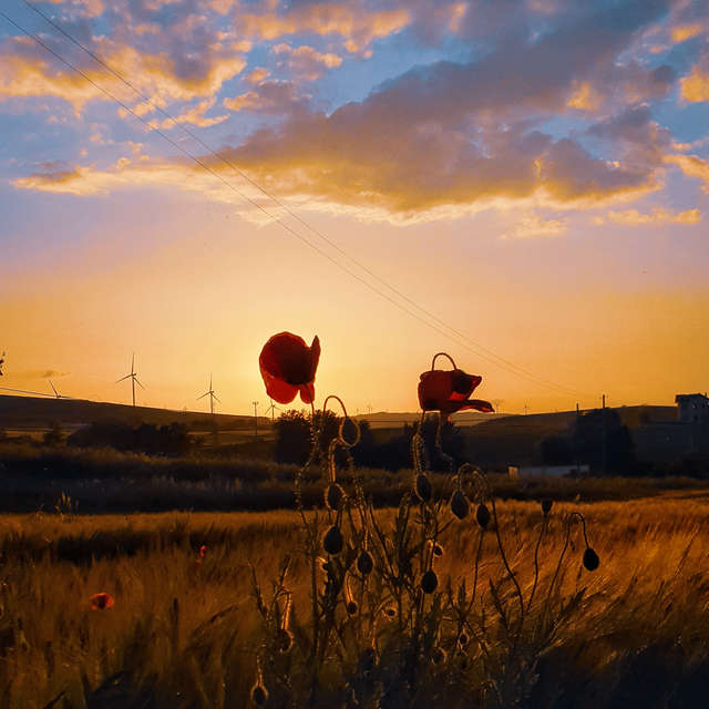 Sunset with poppies