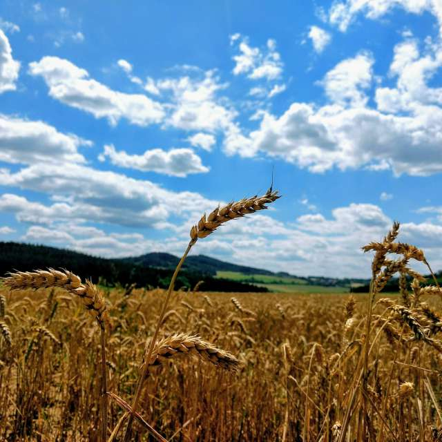 bread is bornin in field