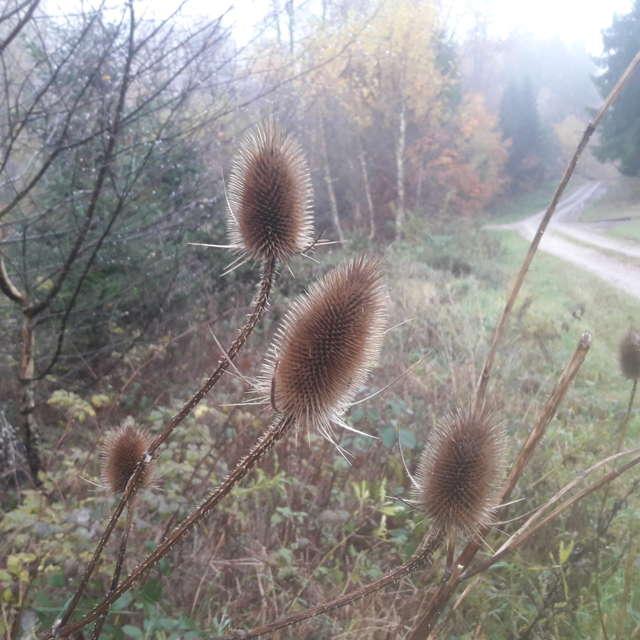 wilde Karde im Soonwald