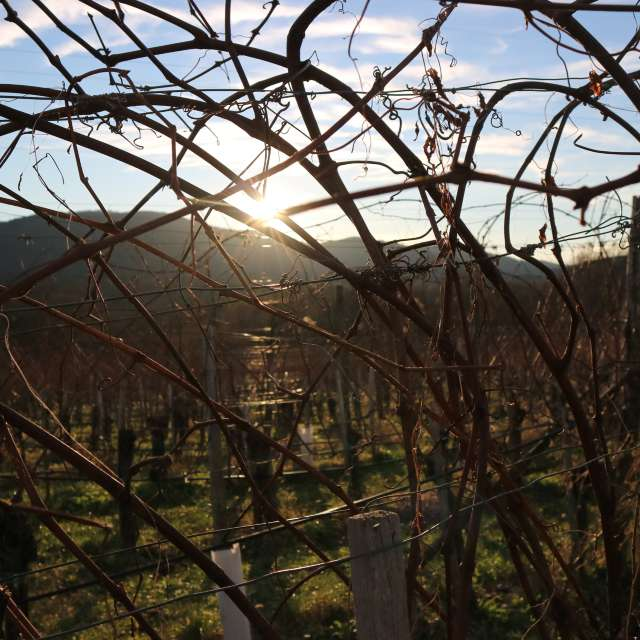 In the vineyard before sunset