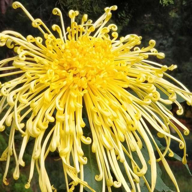 美丽动人心弦的菊花盛开