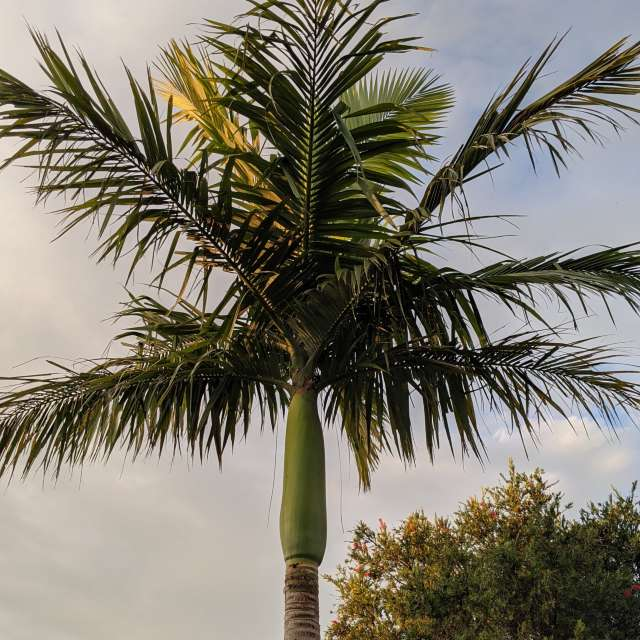Palm tree high