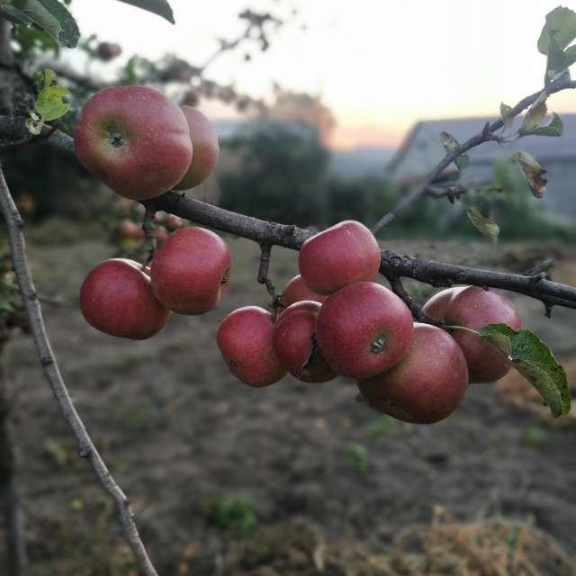 Яблоки на закате