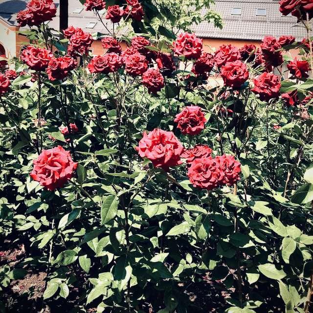 Монастырские розы 🙏🏻