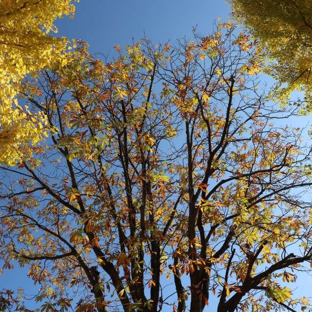 朴葉と銀杏の黄葉