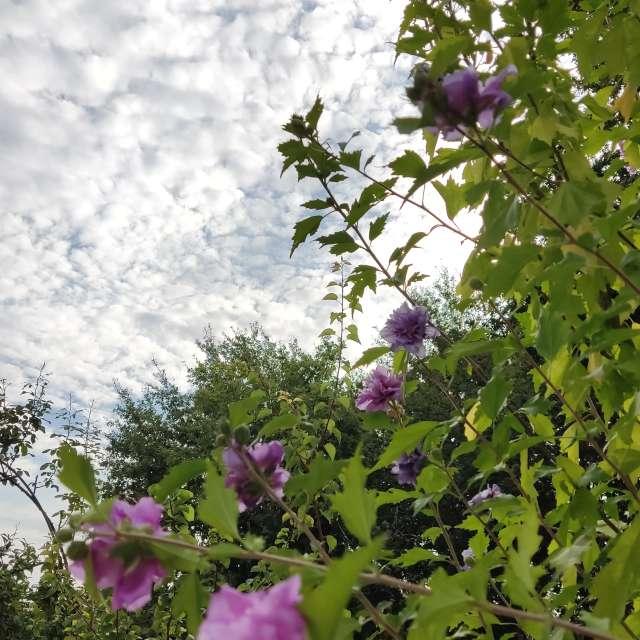 Hibisco en flor