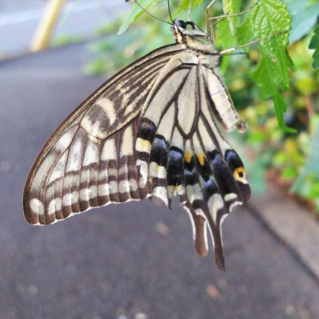 日陰で休憩中の揚羽蝶
