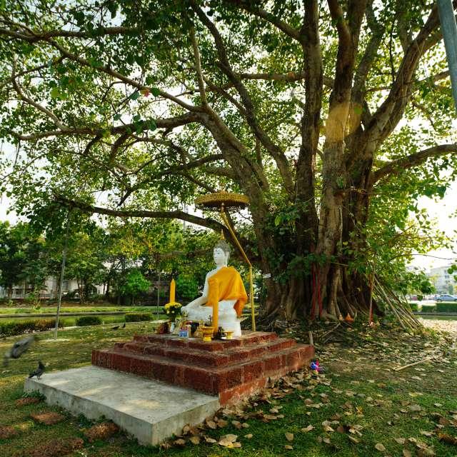 Bodhi tree planted circa 1941