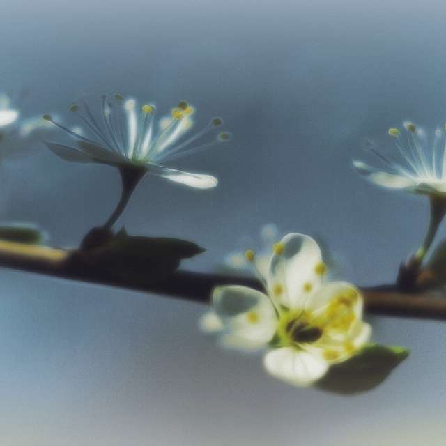 Flowering blackthorn branch.
