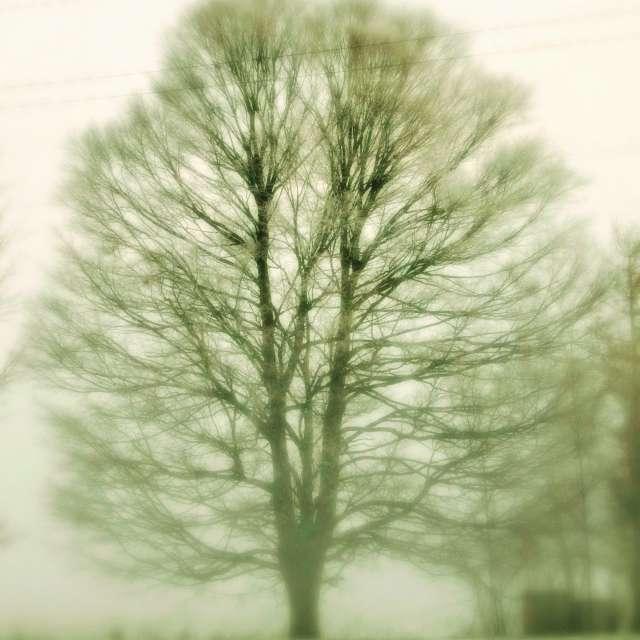 Tree Shrouded in Fog