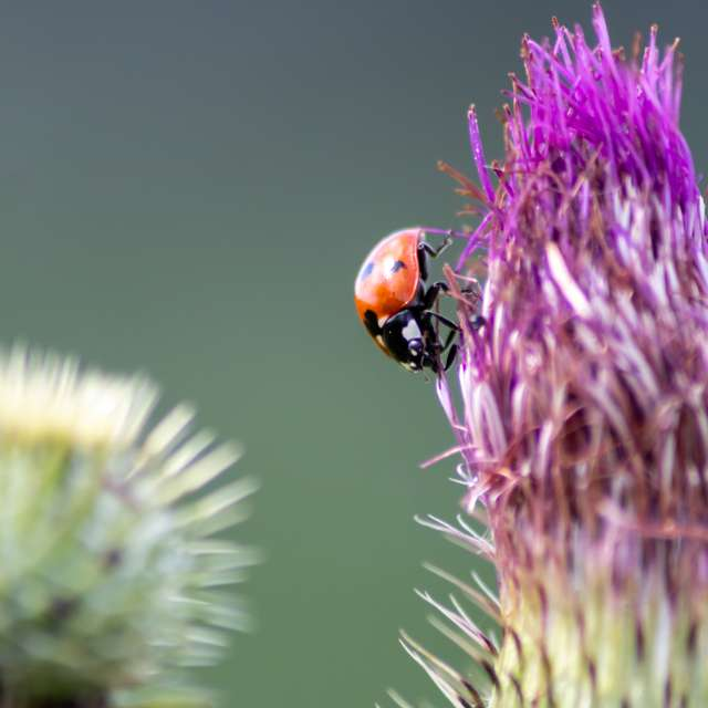 Little ladybug on a blossom