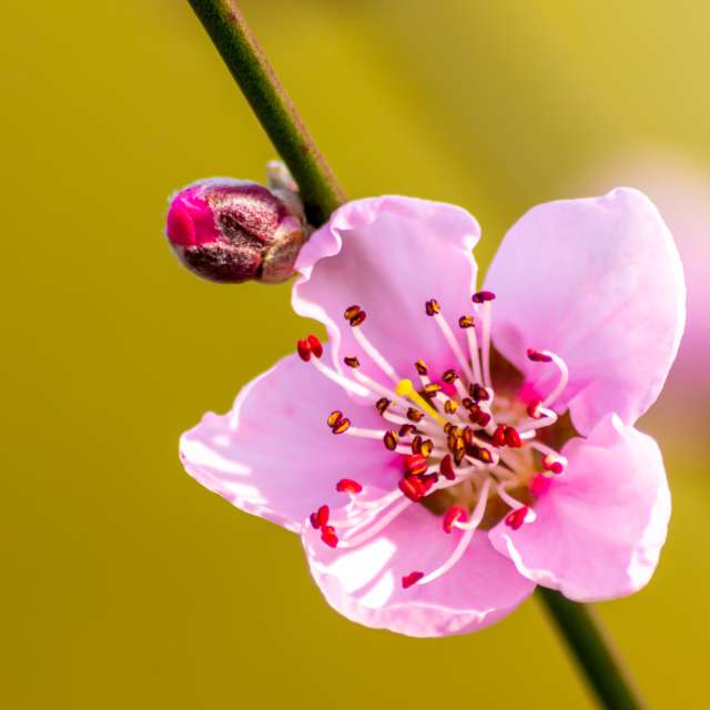 Pink peach blossom in spring