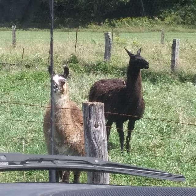 lamas enjoying a sunny day
