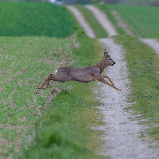 deer crossing a road