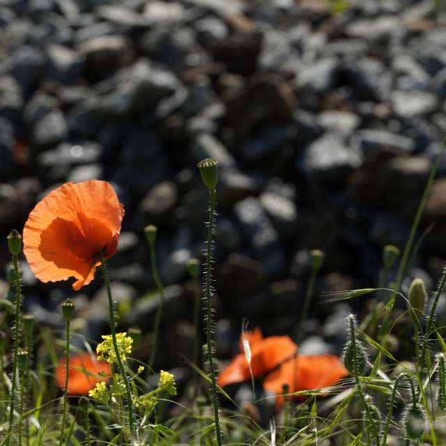 Blooming poppy in the wind