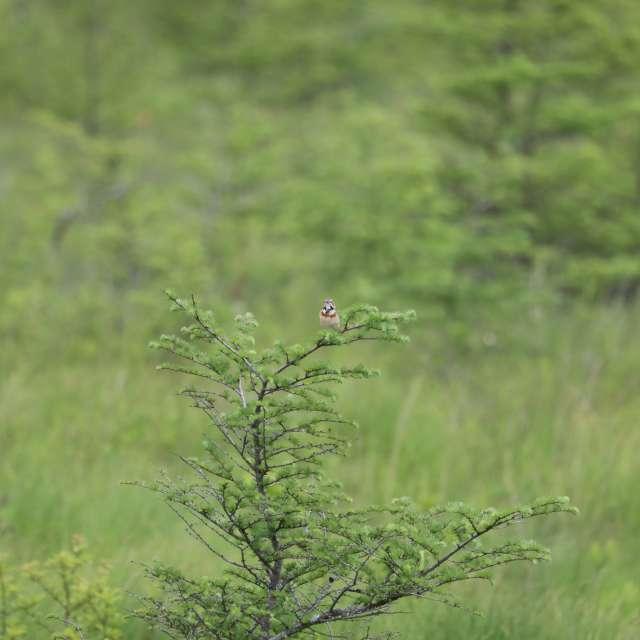 樹上のホオアカ