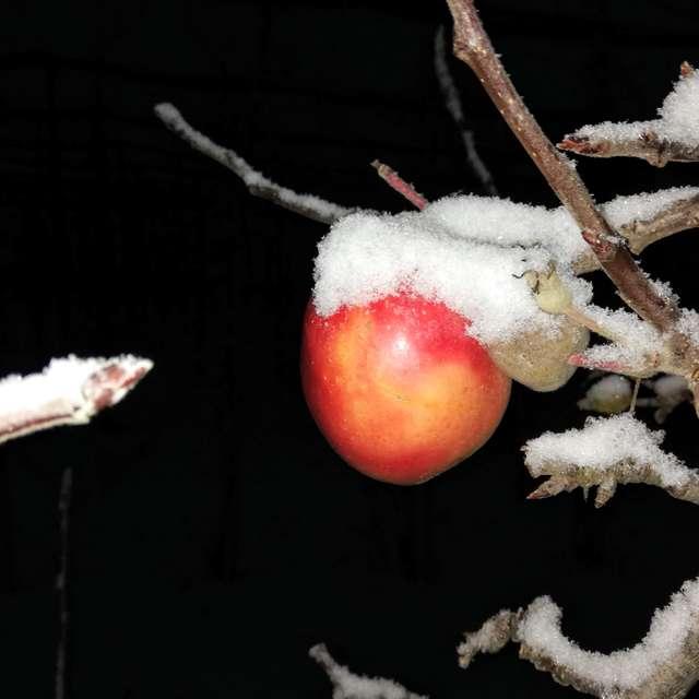 Winter-Apfel in der Nacht