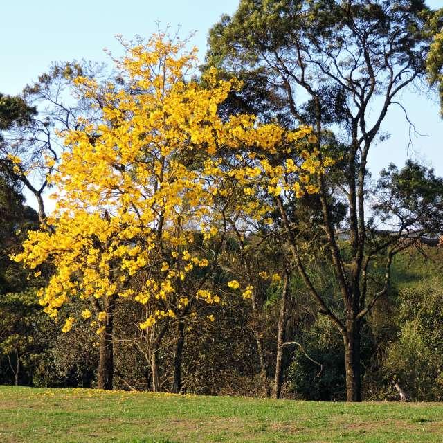 Ipê Amarelo árvore nacional