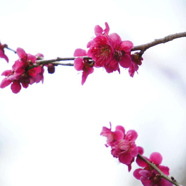 梅の花咲く春