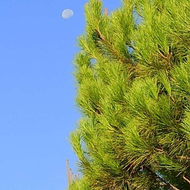 Pino y luna
