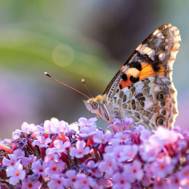 Beautiful butterfly on lilac