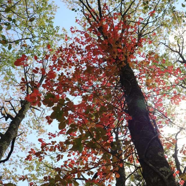 山桜赤くなる