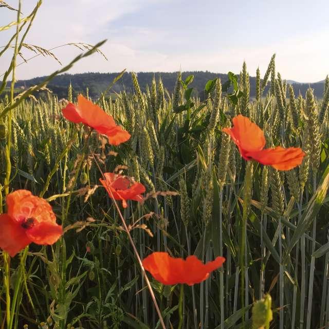 Wetter Mohn Sommer  Weizen